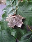 http://www.tweedvixen.co.uk/vintage-copper-maple-leaf-pendant-and-chain-190-p.asp